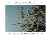Acacia tree in bloom, July