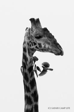 giraffe with oxpeckers b&w