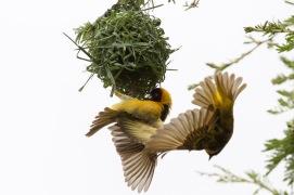 Weaver birds & nest